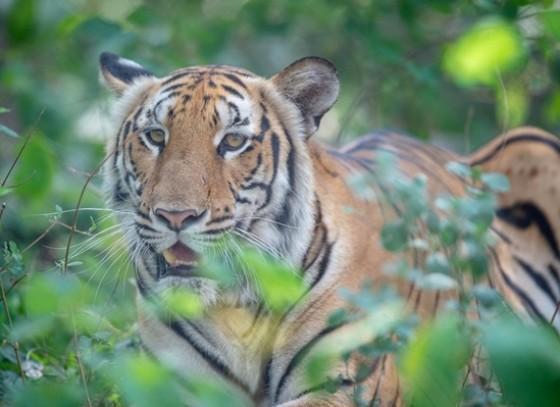กำแพงเพชร- 29 กรกฎาคม วันอนุรักษ์เสือโลก เดินหน้าสนับสนุน WWF เพิ่มประชากรเสือโคร่งในไทยขณะทั่วโลกมีเสือโคร่งเหลืออยู่ในป่า เพียง 4,000 ตัว