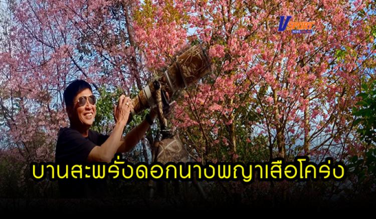 """กำแพงเพชร-อุทยานแห่งชาติแม่วงก์ ดอกซากุระเมืองไทย """"ดอกนางพญาเสือโคร่ง"""" กำลังออกดอกบานสะพรั่งอย่างความสวยงามตลอดเส้นทางระหว่างการเดินทางขึ้นขุนน้ำเย็น"""