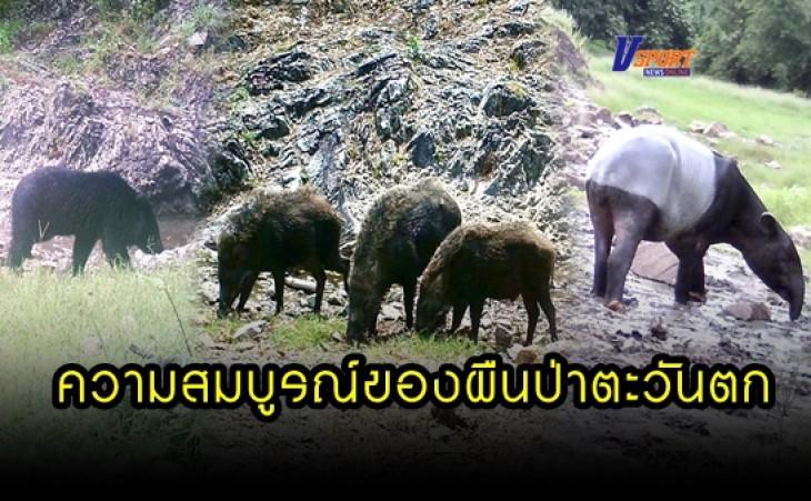กำแพงเพชร-เจ้าหน้าที่ เขตรักษาพันธุ์สัตว์ป่าห้วยขาแข้ง จ.อุทัยธานี ใช้กล้องดักถ่าย พบสัตว์ป่าหลากหลาย สมกับเป็นป่ามรดกโลก