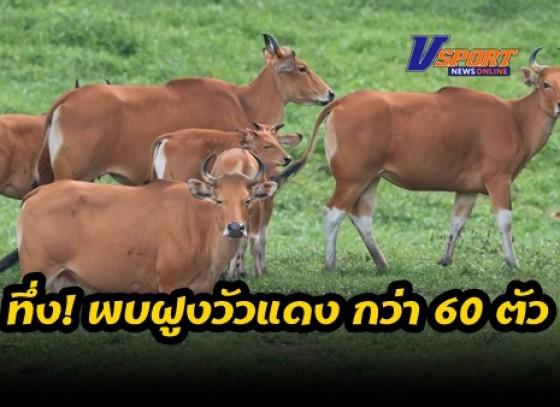 กำแพงเพชร-ทึ่งพบฝูงวัวแดงร่างกายสมบูรณ์ กว่า 60 ตัว แฮปปี้เพลินใจลงแทะเล็มหญ้าบริเวณโป่งช้างเผือก เขตรักษาพันธุ์สัตว์ป่าห้วยขาแข้ง ส่อถึงความอุดมสมบูรณ์ของผืนป่าตะวันตก หลังปิดป่าช่วงระวังเชื้อระบาดโควิค-19 (มีคลิป)